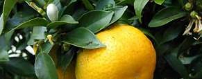 L'Oranger (Bigaradier)