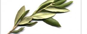Les Feuilles d'olivier